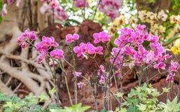 Piękne orchidee, phalaenopsis, w zielonym domu Zdjęcia Stock