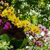 Piękne orchidee, phalaenopsis, w zielonym domu Zdjęcie Stock