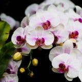 Piękne orchidee, phalaenopsis, w zielonym domu Obraz Royalty Free