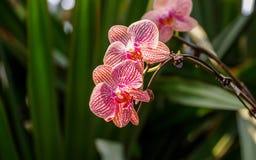 Piękne orchidee, phalaenopsis, w zielonym domu Fotografia Royalty Free