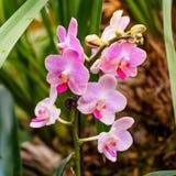 Piękne orchidee, phalaenopsis, w zielonym domu Obrazy Royalty Free