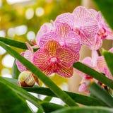 Piękne orchidee, phalaenopsis, w zielonym domu Zdjęcie Royalty Free