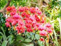Piękne orchidee, phalaenopsis, w zielonym domu Obraz Stock