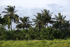 piękne palmy Obraz Stock