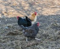 Pi?kne popielate karmazynki na barnyard Farma Drobiu Szary kurczaka walkinng w rolnym ogr?dzie zdjęcie stock
