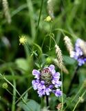 piękne purpurowy Fotografia Stock