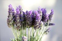 Piękne purpury lavenden kwiaty Fotografia Stock