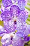 piękne storczykowe purpury Zdjęcia Royalty Free