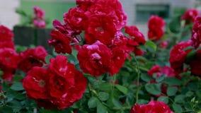 Pi?kne ?wie?e r??e w naturze Naturalny t?o, wielki kwiatostan r??e na ogrodowym krzaku zbiory