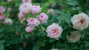 Pi?kne ?wie?e r??e w naturze Naturalny t?o, wielki kwiatostan r??e na ogrodowym krzaku zbiory wideo