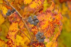 piękne winogrona Obraz Stock