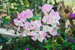 Pięknego bougainvillea papierowy kwiat w menchiach i biel barwimy zdjęcie royalty free