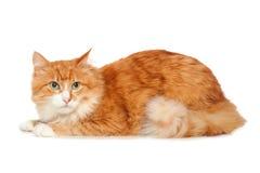 pięknego kota puszysty odosobniony czerwony biel Zdjęcia Royalty Free