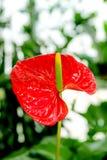 Pięknego kwiatu anthurium izbowi czerwoni kwiaty Fotografia Royalty Free
