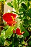 Pięknego kwiatu anthurium izbowi czerwoni kwiaty Obrazy Stock