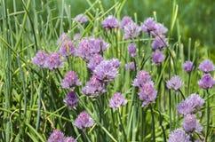Pięknego kwiatu dekoracyjna cebula Zdjęcia Royalty Free