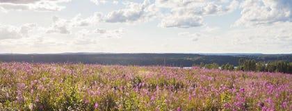 Pięknego lata sezonowa fotografia Lata pole z wierzbowymi ziele i wielkimi kolorami Krajobraz po bushfire w Västmanland, S Fotografia Stock