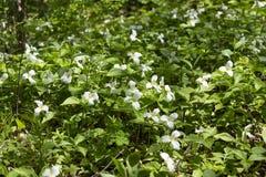 Pi?knego p??nocnoameryka?skiego kwiatu Trillium Bia?y kwiat obrazy royalty free