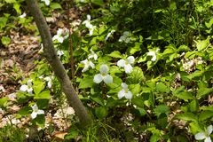 Pi?knego p??nocnoameryka?skiego kwiatu Trillium Bia?y kwiat obraz stock
