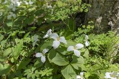 Pi?knego p??nocnoameryka?skiego kwiatu Trillium Bia?y kwiat obraz royalty free