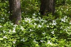 Pi?knego p??nocnoameryka?skiego kwiatu Trillium Bia?y kwiat zdjęcia royalty free
