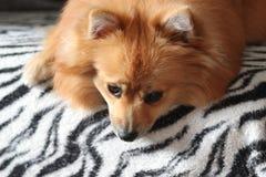 Pięknej blondynki pomeranian pies Zdjęcie Royalty Free