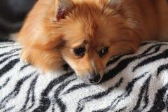 Pięknej blondynki pomeranian pies Fotografia Royalty Free