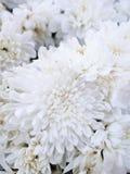 Pięknej eleganci chryzantem biali kwiaty Zdjęcia Royalty Free