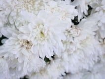 Pięknej eleganci chryzantem biali kwiaty Zdjęcie Royalty Free