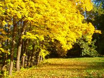 Pięknej jesieni klonowi drzewa Zdjęcia Stock