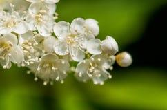 Pięknej wiosny morelowi biali kwiaty Fotografia Royalty Free