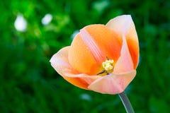 Pięknej wiosny tulipanowy kwiat Zdjęcie Royalty Free