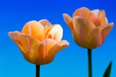 Pięknej wiosny tulipanowy kwiat Fotografia Stock