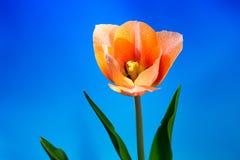 Pięknej wiosny tulipanowy kwiat Obraz Stock