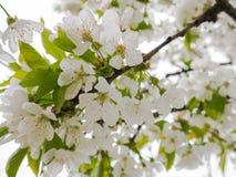 Pi?kni biali kwiaty w drzewie w wio?nie zdjęcia royalty free
