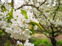Pi?kni biali kwiaty w drzewie w wio?nie obraz stock