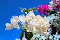 Piękni biali kwiaty w Greece wyspie Fotografia Royalty Free