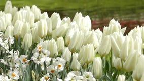 Piękni Biali tulipany w kwiatu parku zbiory wideo