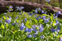 Piękni bluebells Fotografia Royalty Free