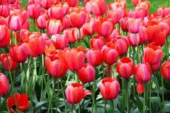Piękni czerwonej wiosny tulipanów kwiaty Zdjęcie Stock