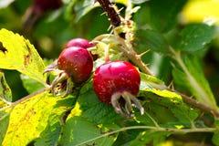 Piękni czerwoni agresty Zdjęcie Royalty Free