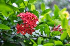 Piękni czerwoni ixoras Zdjęcie Stock