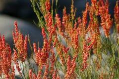 Piękni czerwoni liitle kwiaty Fotografia Royalty Free