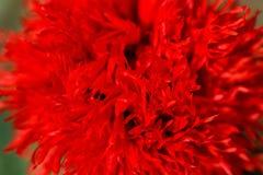 Piękni czerwoni makowi kwiaty na wsi polu w lata se, Fotografia Royalty Free