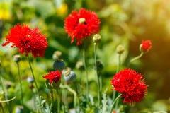 Piękni czerwoni makowi kwiaty na wsi polu w lata se, Zdjęcia Stock