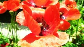 Pi?kni Czerwoni opia, maczek lub Papaver - somniferum lub afeem obraz royalty free