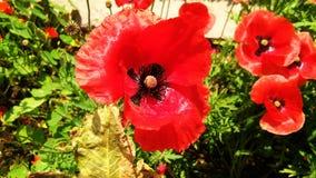 Pi?kni Czerwoni opia, maczek lub Papaver - somniferum lub afeem zdjęcie stock