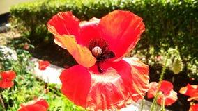 Pi?kni Czerwoni opia, maczek lub Papaver - somniferum lub afeem fotografia royalty free