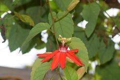 Piękni czerwoni passiflora kwiaty Obraz Royalty Free