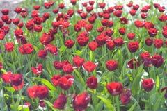 Piękni czerwoni tulipanów kwiaty obraz stock
